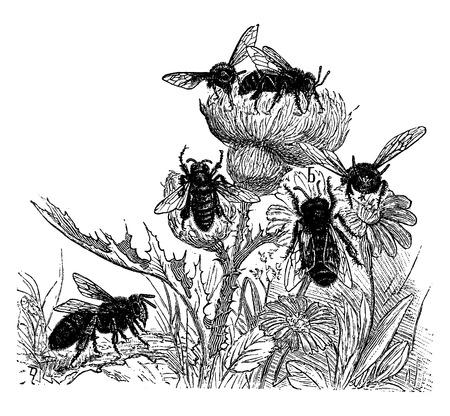 abeja reina: Las abejas, ilustraci�n de la vendimia grabado. La Vie dans la nature, 1890. Vectores