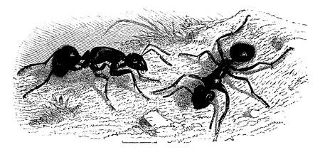 ants: Ants (very large), vintage engraved illustration. La Vie dans la nature, 1890.