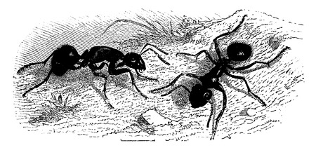 Ants (very large), vintage engraved illustration. La Vie dans la nature, 1890.