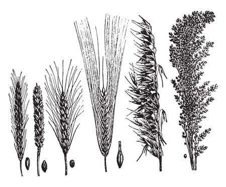cereal: Cereales, vintage grabado ilustraci�n. La Vie dans la nature, 1890. Vectores