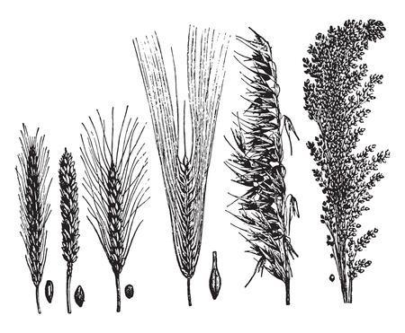 Cereals, vintage engraved illustration. La Vie dans la nature, 1890. Vettoriali