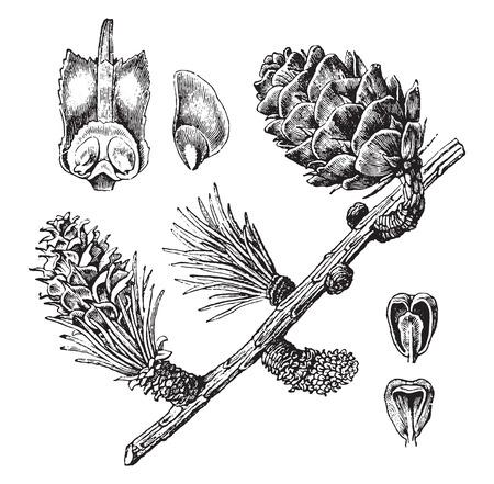 larch: Larch, vintage engraved illustration. La Vie dans la nature, 1890.