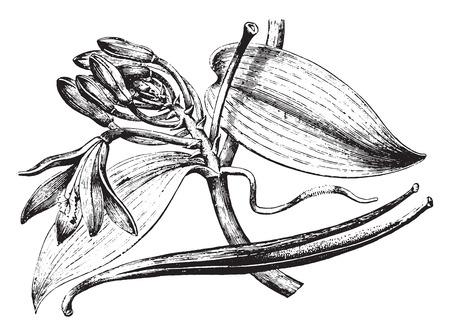 Vanille, vintage gegraveerde illustratie. La Vie dans la nature, 1890. Stock Illustratie