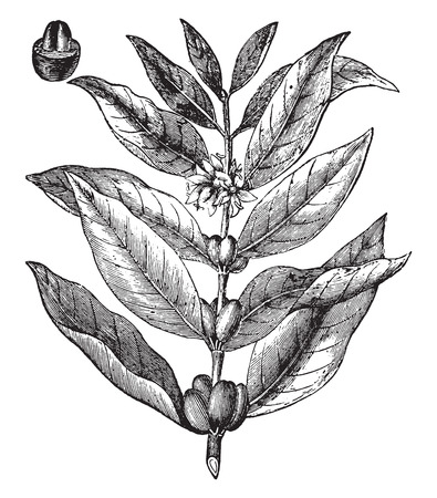 coffee beans: Coffee branch, vintage engraved illustration. La Vie dans la nature, 1890. Illustration