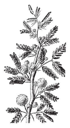 Mimosa, vintage gegraveerde illustratie. La Vie dans la nature, 1890. Stock Illustratie