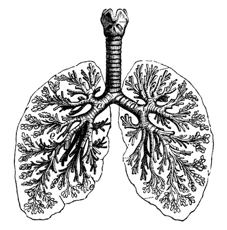 human lung: Diagrams of two human lungs, vintage engraved illustration. La Vie dans la nature, 1890.