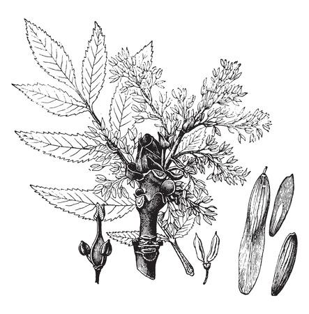 Ash, vintage engraved illustration. La Vie dans la nature, 1890. Illustration