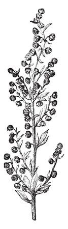 ajenjo: Absinthe, ilustración de la vendimia grabado. La Vie dans la nature, 1890. Vectores