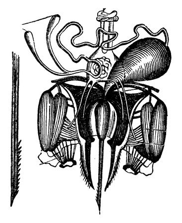 dissect: Sting of the bee, with its venom glands dissected, vintage engraved illustration. La Vie dans la nature, 1890.