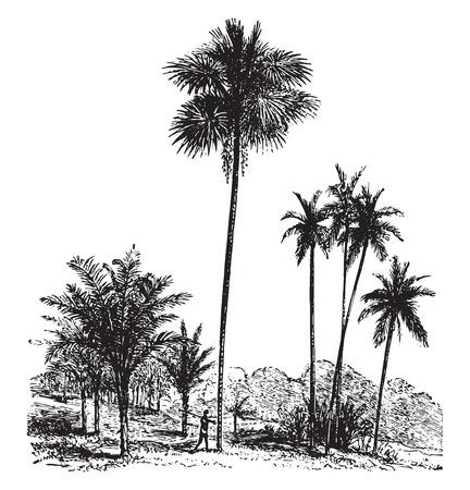 Sago, Gewone palmboom, betelpalm, vintage gegraveerde illustratie. La Vie dans la nature, 1890.