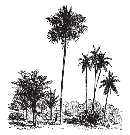 Sago, Ordinary palm tree, Areca catechu, vintage engraved illustration. La Vie dans la nature, 1890. 向量圖像