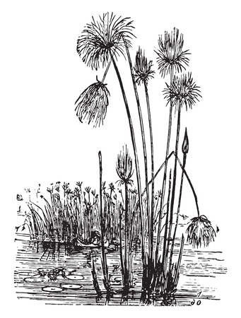 papyrus: Papyrus, vintage engraved illustration. La Vie dans la nature, 1890.