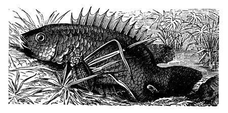 ichthyology: Anabas, vintage engraved illustration. La Vie dans la nature, 1890.