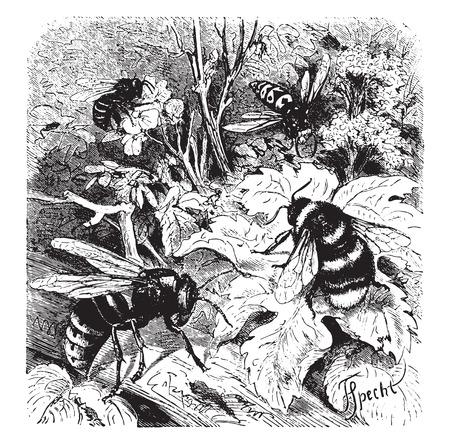 wasp: Bee, vespa crabro, wasp, drone, vintage engraved illustration. La Vie dans la nature, 1890. Illustration