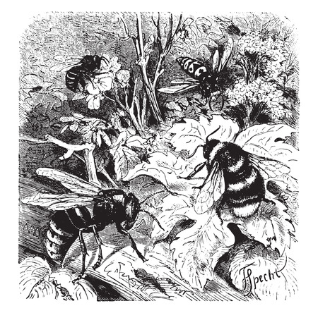 Bee, vespa crabro, wasp, drone, vintage engraved illustration. La Vie dans la nature, 1890. Illustration