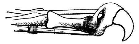 vintage anatomy: Claw of a cat, vintage engraved illustration. La Vie dans la nature, 1890.