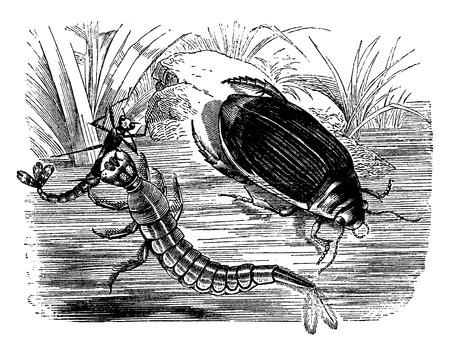 marginalis: Diving beetle and larva, vintage engraved illustration. La Vie dans la nature, 1890. Illustration