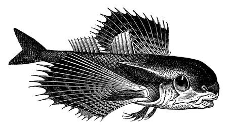 Dactylopterus, millésime gravé illustration. La Vie Dans La nature 1890. Vecteurs