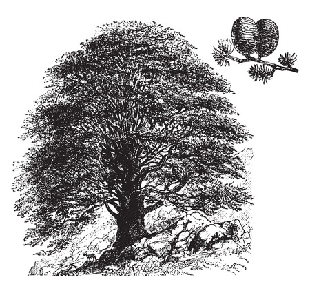 Cedrus libani, vintage engraved illustration. La Vie dans la nature, 1890.