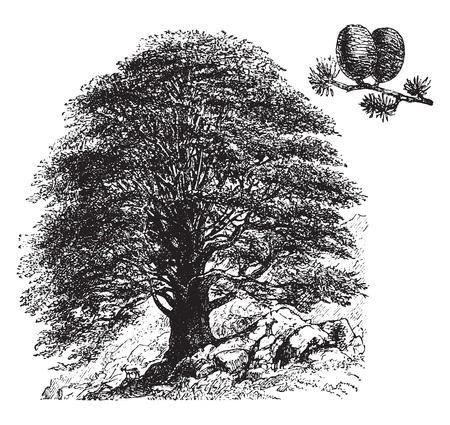 libani: Cedrus libani, vintage engraved illustration. La Vie dans la nature, 1890.