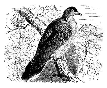 tree bark: Dove, vintage engraved illustration. La Vie dans la nature, 1890.