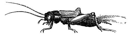 Field cricket, vintage engraved illustration. La Vie dans la nature, 1890.