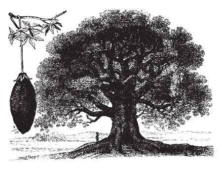 baobab: Baobab, vintage engraved illustration. La Vie dans la nature, 1890.