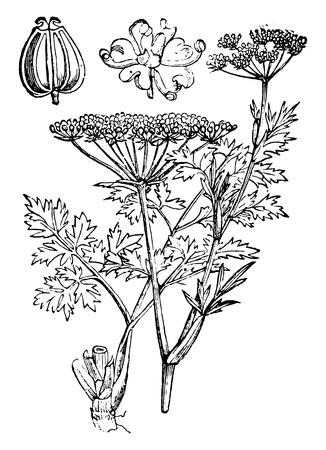 perejil: Perejil o jardín perejil, la ilustración de la vendimia grabado. La Vie dans la nature, 1890.