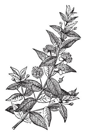 myrtle: Myrtle, vintage engraved illustration. La Vie dans la nature, 1890.