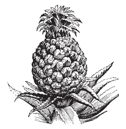 Pineapple, vintage engraved illustration. La Vie dans la nature, 1890.