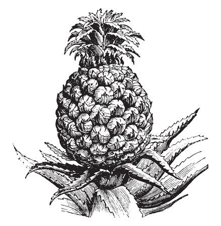an engraving: Pineapple, vintage engraved illustration. La Vie dans la nature, 1890.