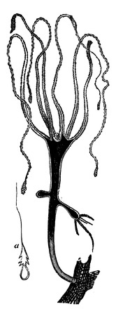 hydra: Freshwater hydra, vintage engraved illustration. La Vie dans la nature, 1890. Illustration
