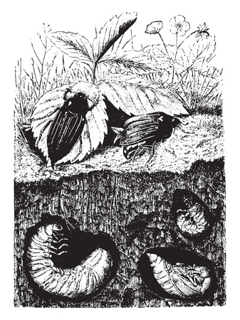 larvae: Beetles. Male, female, larvae (grubs) and nymph, vintage engraved illustration. La Vie dans la nature, 1890.