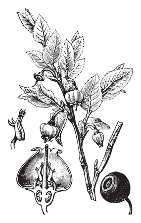 perennial: Blueberry, vintage engraved illustration. La Vie dans la nature, 1890.