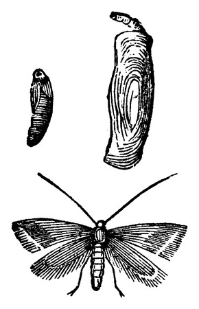 moth: Tinea pellionella, vintage engraved illustration. La Vie dans la nature, 1890.