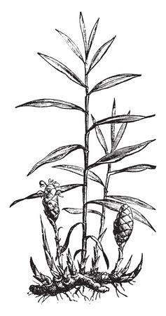 ginger root: Ginger, vintage engraved illustration. La Vie dans la nature, 1890.