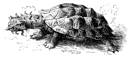 freshwater turtle: Matamata, vintage engraved illustration. From La Vie dans la nature, 1890. Illustration