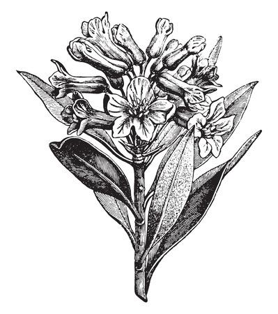 alpine: Alpine Rose, vintage engraved illustration. La Vie dans la nature, 1890. Illustration