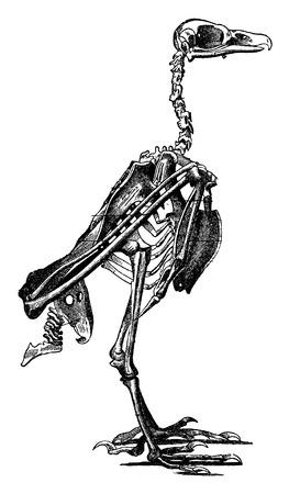 Skeleton of a bird, vintage engraved illustration. La Vie dans la nature, 1890.