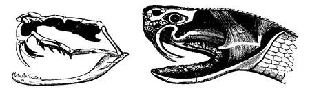 venomous: A. Skeleton of the head of a poisonous snake, B. Head of a venomous snake, vintage engraved illustration. From La Vie dans la nature, 1890.
