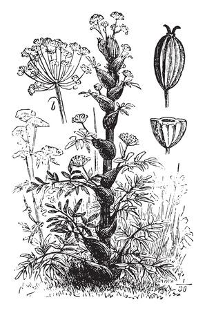 oleoresin: Asafoetida or asafetida, vintage engraved illustration. La Vie dans la nature, 1890. Illustration