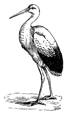 wade: Stork, vintage engraved illustration. From La Vie dans la nature, 1890.