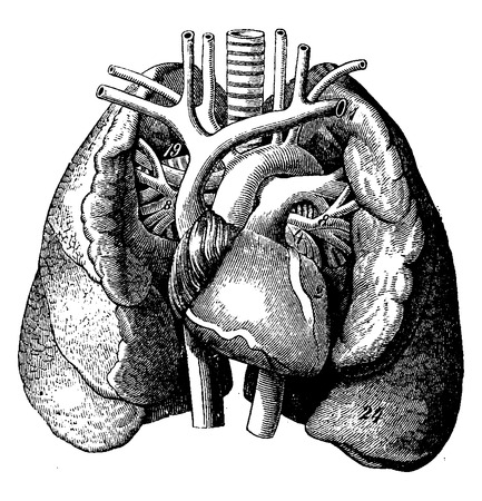 right ventricle: The heart in the middle of the lungs, vintage engraved illustration. La Vie dans la nature, 1890. Illustration