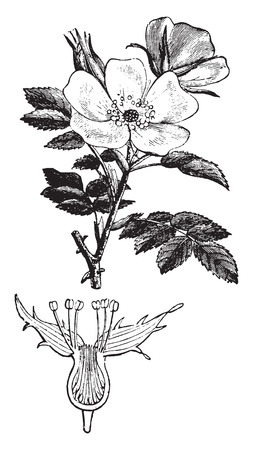 rose hips: Rose hips or rose haw or rose hep, vintage engraved illustration. La Vie dans la nature, 1890. Illustration