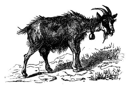 염소, 빈티지 새겨진 그림. 보헤미안 1890, 라 자연 DANS.