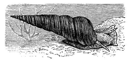 Turritella, illustration vintage gravé. La Vie Dans La nature 1890.