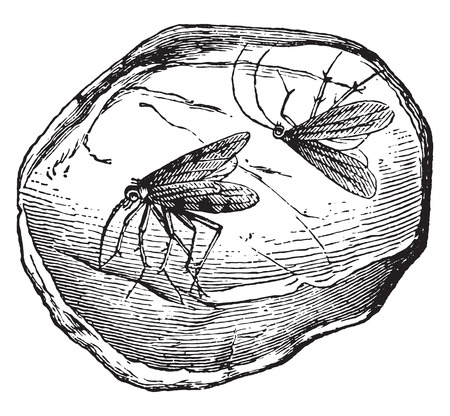 vintage illustration: Amber, containing two insects, vintage engraved illustration. La Vie dans la nature, 1890.