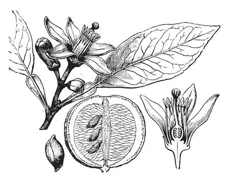CITRICOS: Naranja, cosecha ilustración grabada. La Vie dans la nature, 1890.