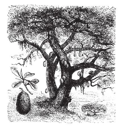 Breadfruit, vintage engraved illustration. La Vie dans la nature, 1890.
