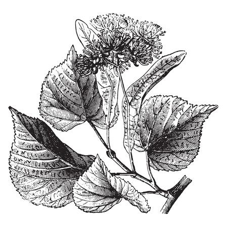 basswood: Basswood, vintage engraved illustration. La Vie dans la nature, 1890.